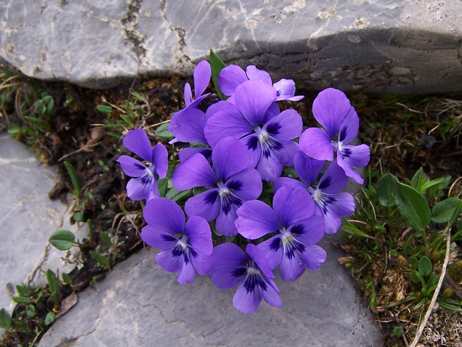 Viola alpina (pl. fiołek alpejski), habitat; Tatra Mountains, Czerwone Wierchy, Kobylarzowy Żleb