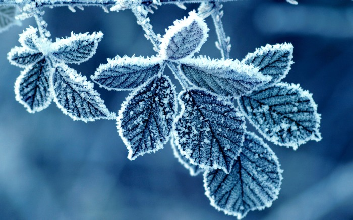 Cold winter frost leaves